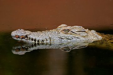 Nile crocodile (Crocodylus niloticus), South Africa.