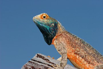 Ground agama (Agama aculeata), Kalahari desert, South Africa