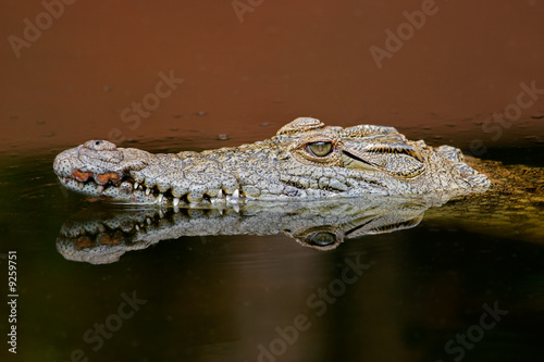 Deurstickers Krokodil Nile crocodile (Crocodylus niloticus), South Africa.