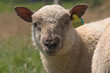 portrait d'un mouton