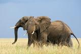 Dva strach Afričtí sloni běží v savaně