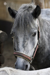 Portrait of grey horse staying in the corral