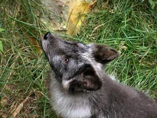 Arctic fox grey 2
