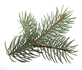 branch of Colorado silver spruce tree isolated on white poster