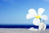 Tropical flower Plumeria alba and seashell on the sandy beach poster