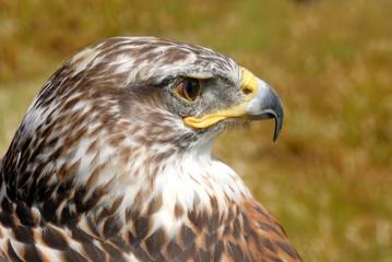 closeup f red tail hawk
