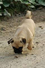 pug - mops