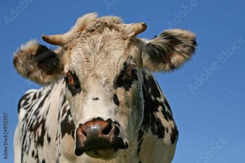Poster Ezel vache