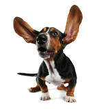 a basset hound with long flapping ears poster