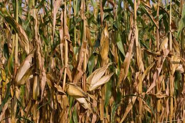 coltivazione del granoturco in veneto