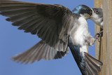 Hungry  Baby Tree Swallow (tachycineta bicolor) poster