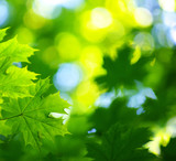 green leaves background in sunny day - Fine Art prints