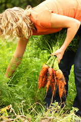 Woman picking fresh organic carrots