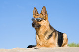 German shepherd laying in sun glasses on sand poster