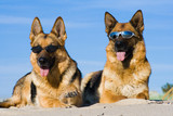 German shepherds lying in sun glasses on sand poster