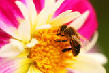 Honeybee on flower, bright and vivid macro poster