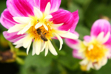 Honeybee on flower, bright and vivid