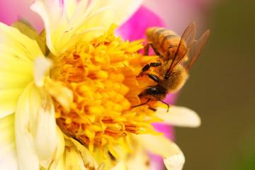 Honeybee on flower, bright and vivid macro