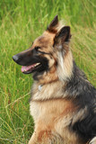 German shepherd in the countryside poster