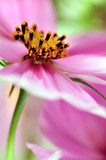 Closeup of pink cosmos flower (soft focus) poster