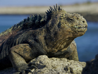 Marine Iguana auf Galapagos