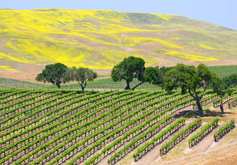 A wine vineyard near Santa Barbara, California.
