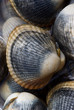Close-up shot of clams ideal for background and textures