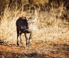 common warthog ,Phacochoerus africanus,