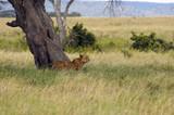 Lioness under the acacia tree - Safari in Tanzania poster