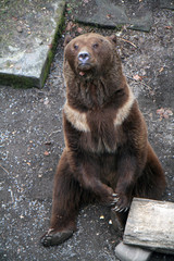 Brown bear in the bear pit at Bern, Switzerland
