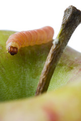 a common worm creeping on an apple