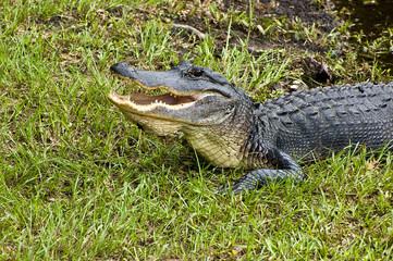 Alligator Danger