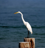 Great egret, commonly seen in Florida poster