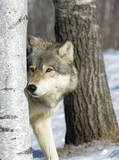Fototapeta natura - na zewnątrz - Dziki Ssak
