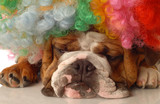 english bulldog with clown wig and silly expression poster