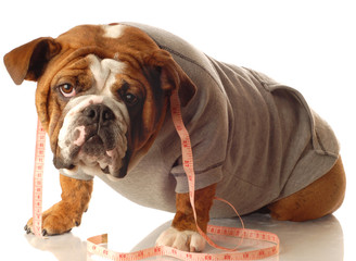 english bulldog wearing workout gear with tape measure