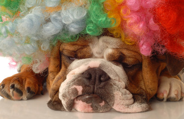 english bulldog with clown wig and silly expression