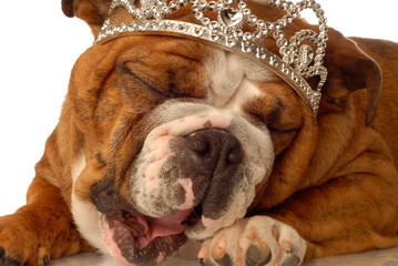 english bulldog wearing crown and silly expression..