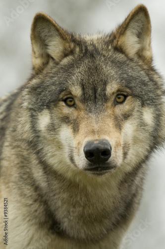 Fototapeta portret - amerykański - Dziki Ssak