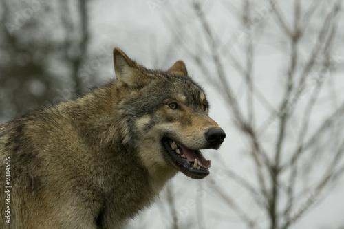 Fototapeta Drapieżnik - Staring - Dziki Ssak