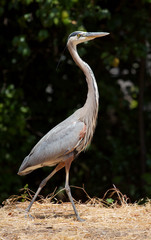A great blue heron walking through grass on Stanford Campus