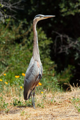 A great blue heron standing tall in grass at Stanford