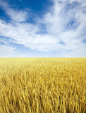 Fototapety Golden rice field and sky
