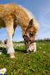 Sweet young horse is eating green grass