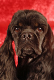 head shot of black and tan American cocker spaniel poster