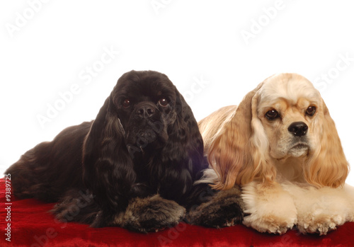 poster of two american cocker spaniel dogs laying down
