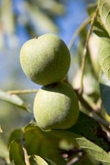 Green rough unripe walnuts. closeup on the branch.