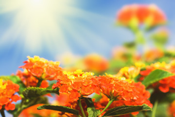 Tropical flowers Lantana on sunny sky background