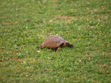 turtle crawling in grass poster