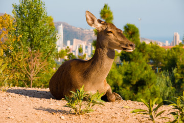 Deer laying on a hill